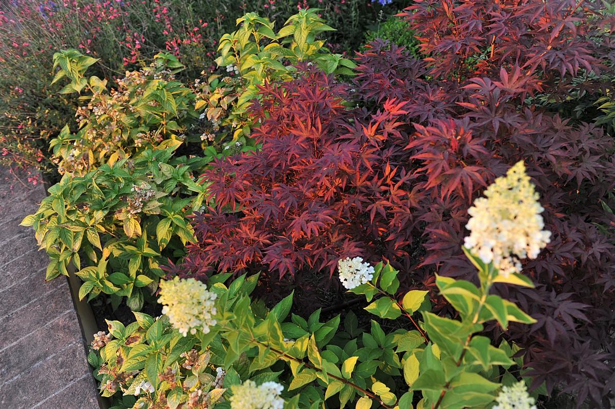 Acero Giapponese Verde giardino privato a verucchio | vivaio f.lli pesaresi