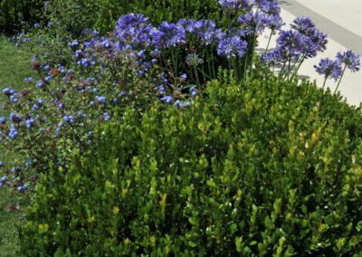 agapanthus in fioritura