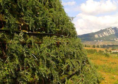 scarpata in terra armata rinverdita con varietà di rosmarino prostrato