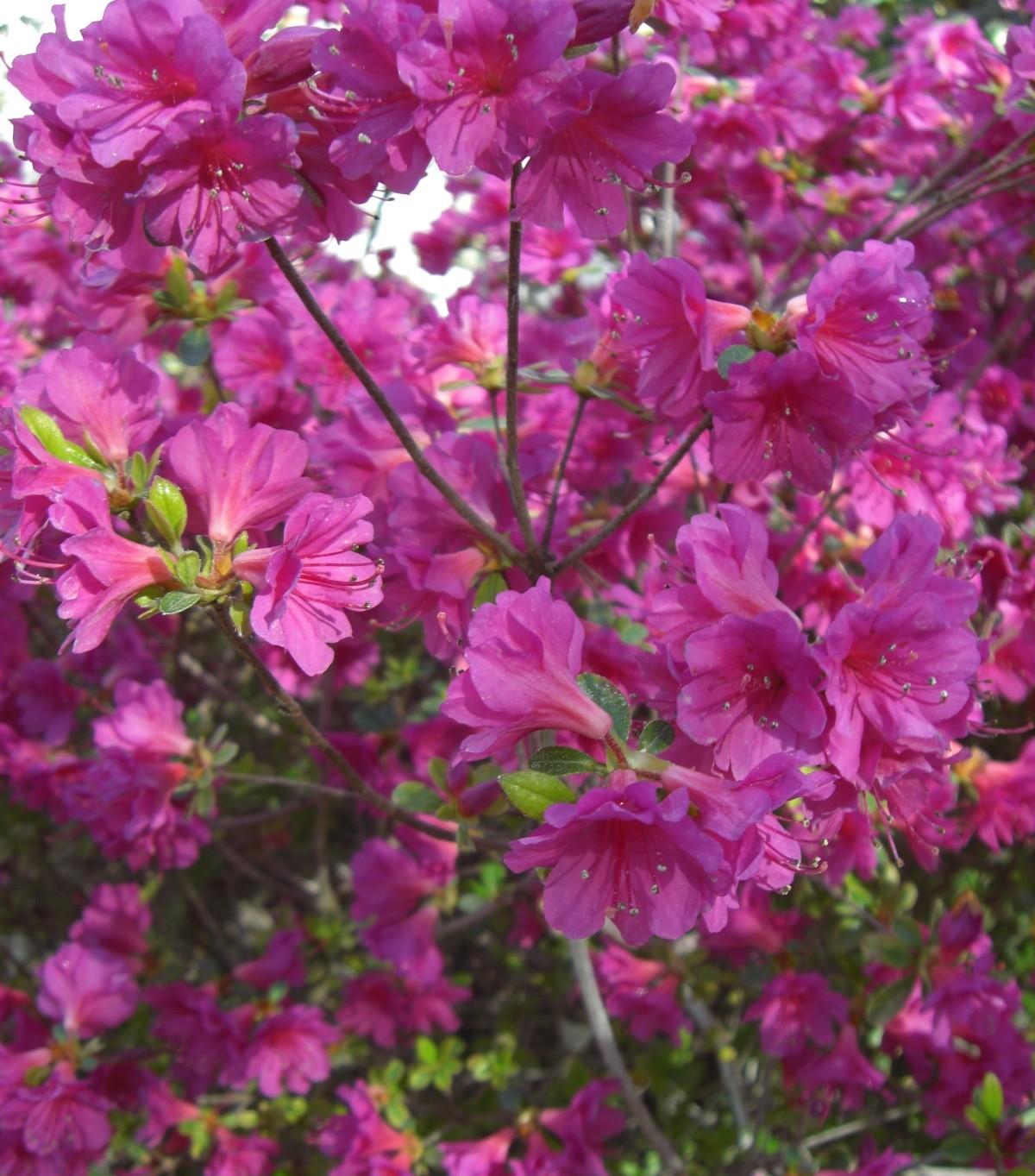 Arbusti ornamentali vivaio pesaresi for Alberelli ornamentali