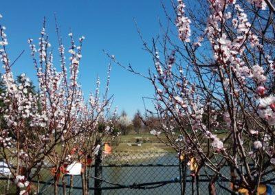 fioritura_alberi da frutto 2