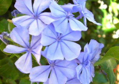 plumbago in fioritura
