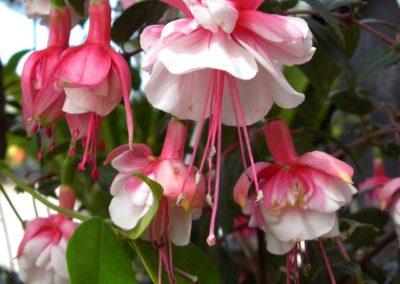 fucsia in fioritura