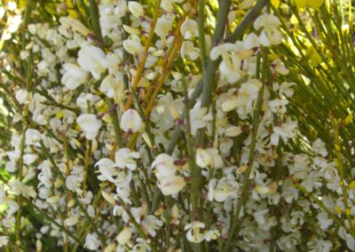 ginestra in fioritura