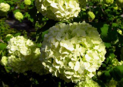 hidrangea in fioritura