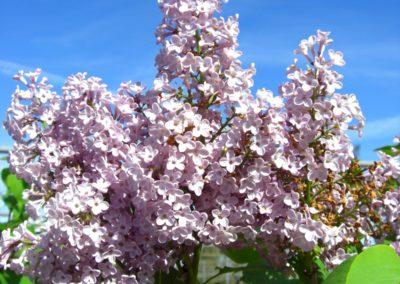 lillà Palibin in fioritura