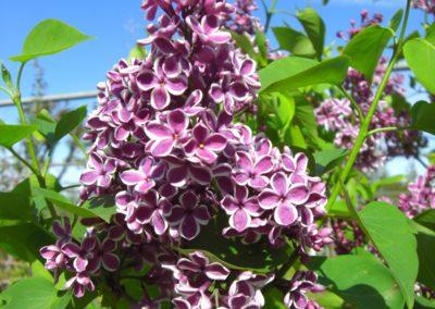 lillà Sensation in fioritura