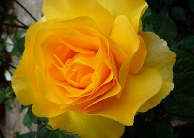 rosa Avec Amour
