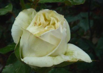 rosa Pierre Arditi