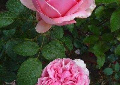 rosa Schone Maid