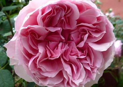 rosa Aphrodite