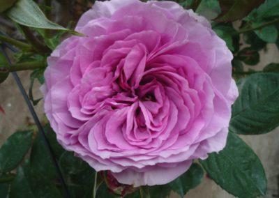 rosa Lavender Ice