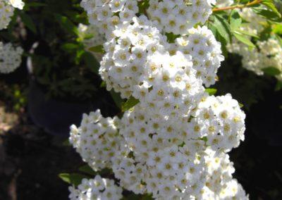 spiraea in fioritura