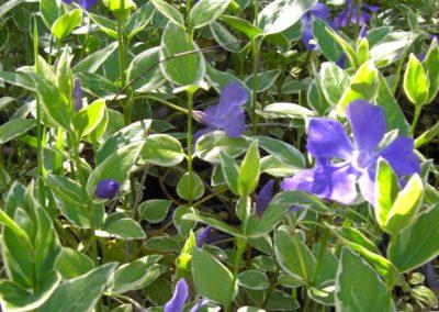 vinca major variegata in fioritura