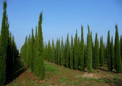 vivaio_cipressi_coltivazione