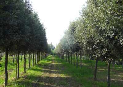 vivaio_filari_alberi_lecci