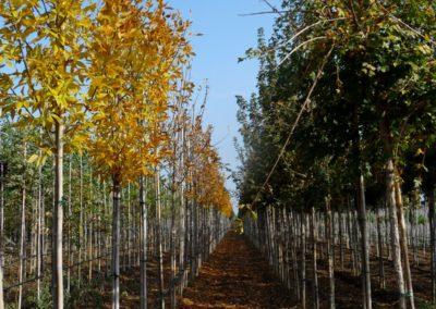 vivaio_filari_coltivazione