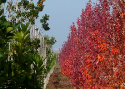 vivaio_filari_coltivazione3