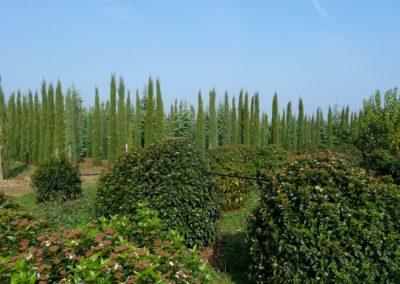 vivaio_filari_coltivazione4