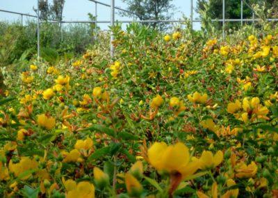iperico in fioritura
