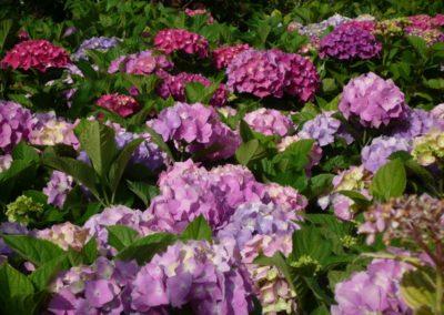 ortensie in fioritura