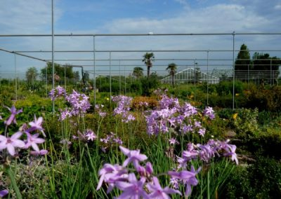 thulbaghia in fioritura