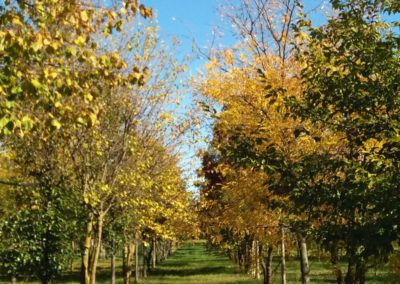 vivaio_pieno_campo_alberi_autunno1